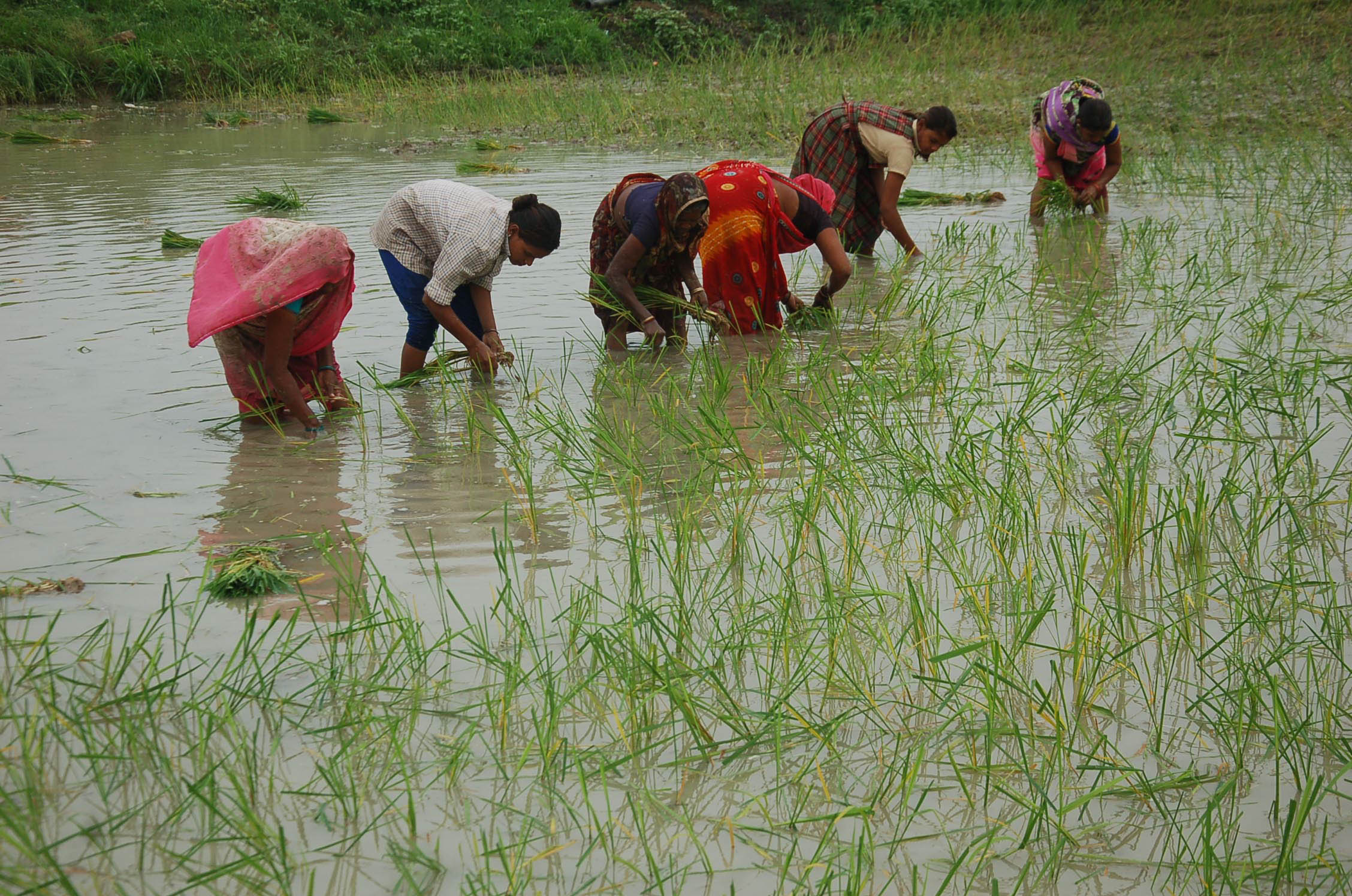Paddy Scam in Chhattisgarh: Harvest of Tears